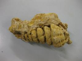 Campalline (gasteropodi) fossile 50 milioni di anni