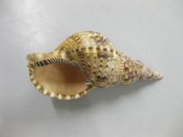 Charonia tritonis (molluschi gasteropodi)