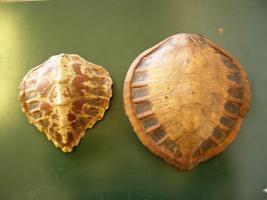 Coppia di corazze di tartarughe marine