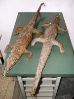 Coppia di coccodrilli imbalsamati