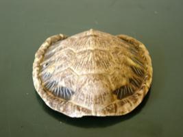 Corazza di piccola tartaruga