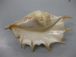 Lambis truncata (molluschi gasteropodi)
