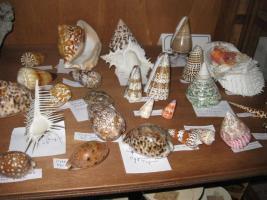 Molluschi cefalopodi