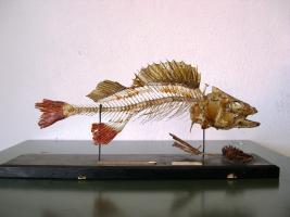 Scheletro di pesce persico