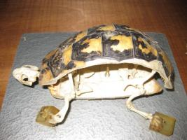 Sezione di scheletro di tartaruga