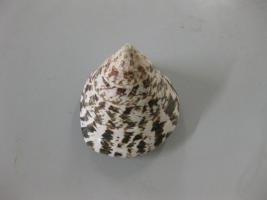 Trachus (molluschi gasteropodi)